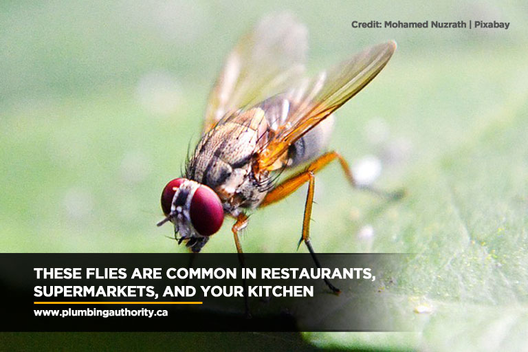 These flies are common in restaurants, supermarkets, and your kitchen